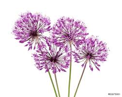 allium flowers allium flowers iaolated wall sticker wall stickers