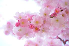 cherry blossom in bloom cherry flowers in small clusters on a