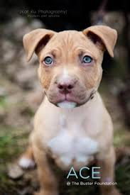american pitbull terrier kennels in michigan meet ace an adoptable pit bull terrier dog in belleville mi