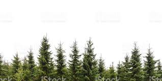 row of pine trees isolated on white stock photo istock