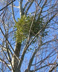mistletoe wikipedia