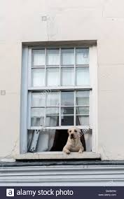 a dog looking and leaning out of an upstairs house window in a
