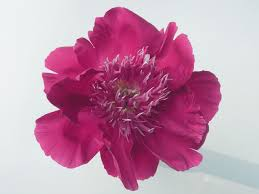 pianese flowers a brief introduction to japanese tree peonies crickethillgarden