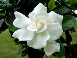 8 flowers to grow in the cooler months page 3 of 9 gardenias