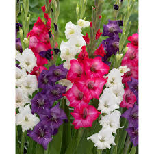gladiolus flower zyverden gladiolus tropical blend bulbs set of 25