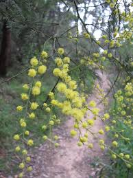 native plants brisbane sydney u0027s wildflowers and native plants