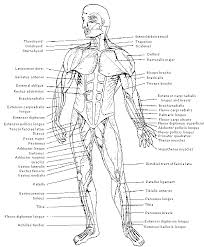 Anatomy And Physiology The Muscular System Anatomy And Physiology Assessment Tempat Untuk Dikunjungi