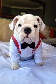 Halloween Costumes English Bulldogs 237 Funny Bulldogs U0027 Costumes Images Funny