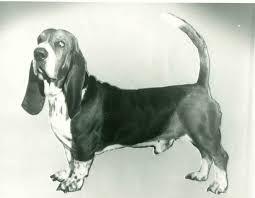 afghan hound vs wolfhound basset hound history u0026 training temperament