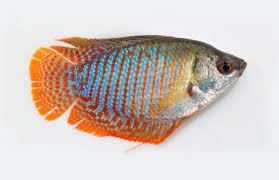 nest builders of ornamental fishes vikaspedia