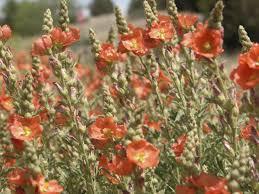 native desert plants desert mallow monrovia desert mallow