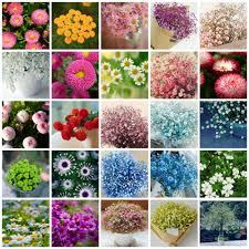 starry daisy flower seeds free shipping 100 four seasons indoor