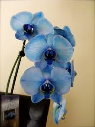 buy an orchid blue orchids why you need to be careful before buying