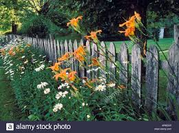 Day Lillies Old Rustic Picket Fence Lined With Day Lillies And Daisies Story