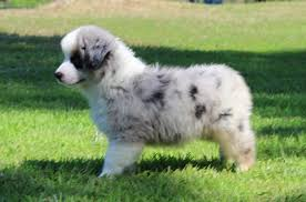 australian shepherd rescue san diego and friends american stock dog registry american stock dog registry