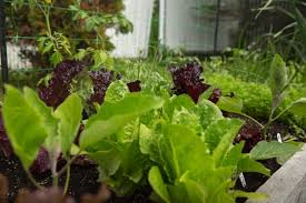 edible essentials u2013 urban seedling