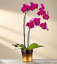 Orchid Plant Orchid Plants U0026 Gifts Send Blue Orchids Gifts From Ftd