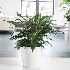Peace Lily Plant Peace Lily Plant Potted In Round Classico 14