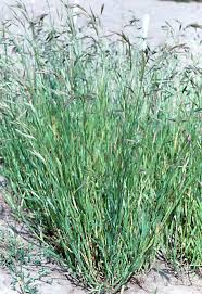 plants native to southern california bromus carinatus california brome ocfa approved plants