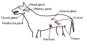 the anatomy and physiology of animals endocrine system worksheet