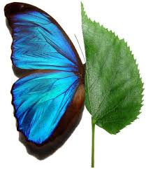 Blue And Green Butterfly - file green leaf blue butterfly jpg wikimedia commons