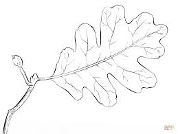 White Oak Tree Drawing Oak Tree Leaf Coloring Page Free Printable Coloring Pages