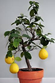 s lemon tree lseckerle