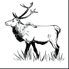 coloring pages bull elk coloring pages for you coloring pages