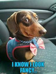 Dachshund Meme - best 25 ideas about dachshund meme find what you ll love