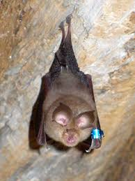 lesser horseshoe bat wikipedia