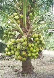palm trees supari palm wholesaler from pune