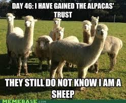 Alpaca Sheep Meme - undercover sheep memebase funny memes