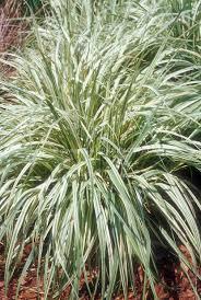 molina caerulea subsp caerulea variegata plant flower stock
