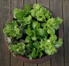 salad bowls grow lettuce in containers houston chronicle