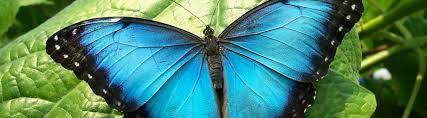 native plants in the tropical rainforest species profile blue morpho butterfly morpho peleides