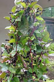 Heat Resistant Plants Fafardheat Tolerant Summer Greens For Fresh Salads