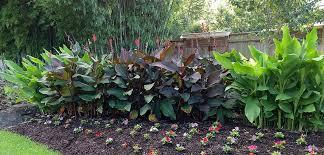 canna lilies canna costa farms