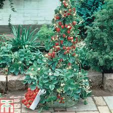 strawberry u0027mount everest u0027 everbearer all season thompson