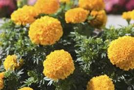 how to grow marigold from seed heads home guides sf gate