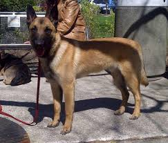 belgian malinois markings strictly malinois