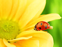 cute ladybug wallpaper hdq beautiful ladybug images u0026 wallpapers