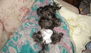 affenpinscher havanese mix kase havanese quality havanese puppies in charlotte north carolina
