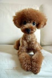 different toy poodle cuts poodles smart active and proud poodle teddy bear and pup