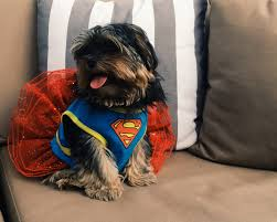 dog costumes spirit halloween dog halloween costumes are the shih tzu huffpost