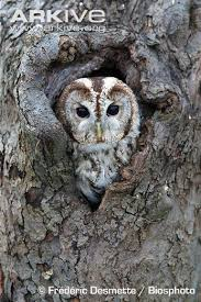 owl photo strix aluco a20370 arkive