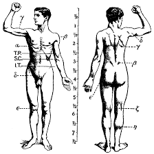 Pictures Of Anatomy Of The Human Body Human Musculoskeletal System Wikipedia
