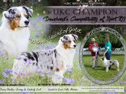 hsf 4 australian shepherd dovehawk australian shepherds puppies for sale