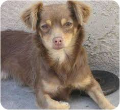 australian shepherd mixed with chihuahua coco adopted dog poway ca tibetan spaniel chihuahua mix