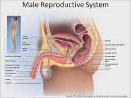 Lab Practical Anatomy And Physiology Biology 202 Lab 46 Male Reproductive System Youtube