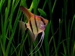 fish species n 2 angelfish pterophyllum leopoldi feast your